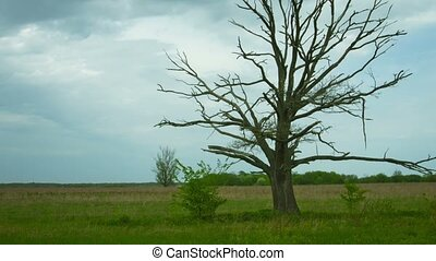 Dead tree in the field. Dry old oak with panning and zoom effects