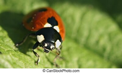 Ladybird disambiguation on green leaf close up - Video...