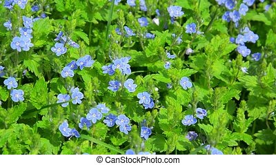 Small blue flowers in the flowerbed - Veronica - Video 1080p...