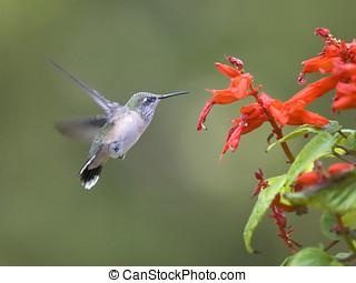 Kolibri, menekülés