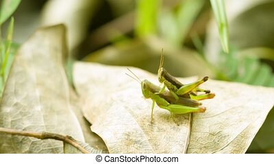 Two grasshoppers copulating on tropical rainforest - Video...