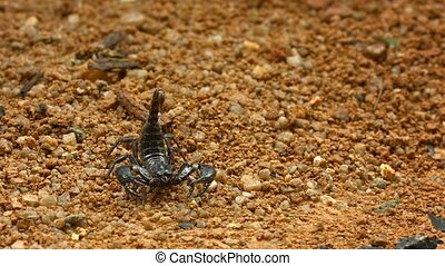 Asian forest scorpion (Heterometrus) in defensive position on the ground. Thailand