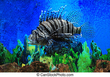 Lion fish in aquarium with blue backgroun