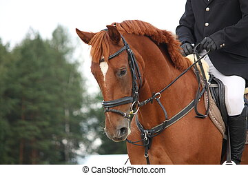 Brown horse portrait with bridle during horse show
