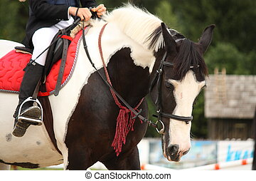 Piebald tinker horse portrait - Piebald (black and white)...