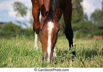 Bay horse eating grass at the grazing