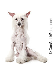 Hairless Chinese Crested dog sitting over white - Hairless...