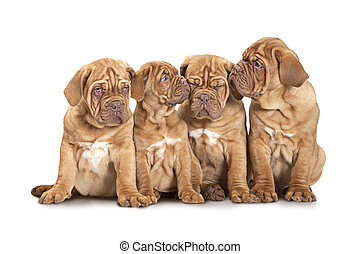Four French Mastiff puppies over white - Nine month old...