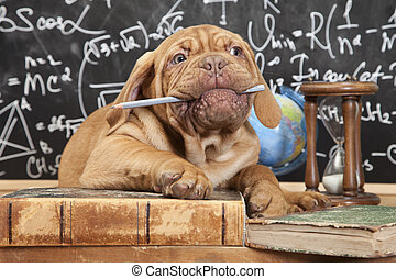 French Mastiff puppy chewing a pencil in front of blackboard...
