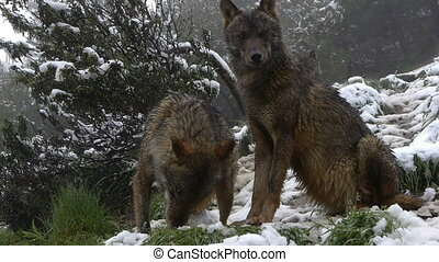 couple Iberian wolves in the snowy mountains marking his...