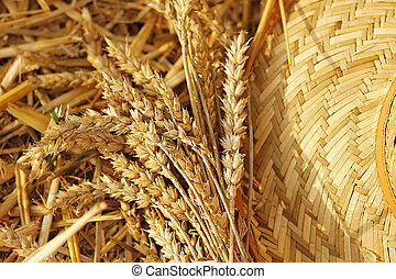 bunch of wheat in the field - a bunch of wheat in the field