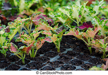 Coleus in a black tray