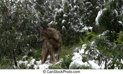 canis lupus signatus, Iberian wolf in the bushes snowy