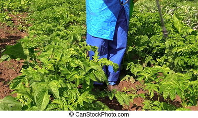 Gardener fertilize potato - Gardener in protective workwear...
