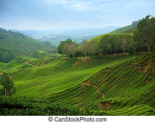 Tea plantations in Cameron Highlands, Malaysia