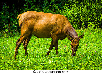 An elk in the grass at Great Smoky Mountains National Park,...