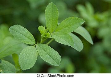 Alfalfa Leaves - A closeup of some alfalfa leaves