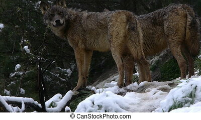 couple Iberian wolves in their domains in the forest