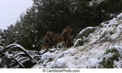 the group of wolves in the mountains of southern Spain