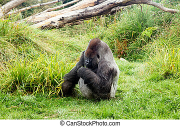 Male silver back gorilla eating green leafs while sitting on...