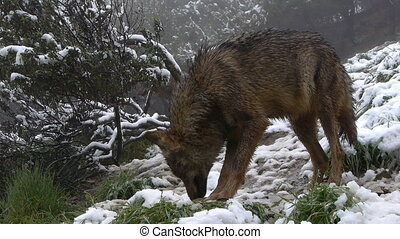 Iberian wolf sniffing the ground, the snow has found he...