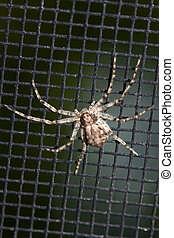 Spider on a Window Screen