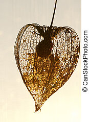 Dried Physalis lantern cape gooseberry close up