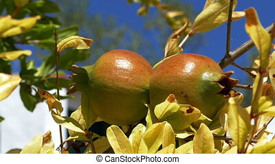 Pomegranate Fruits on the Branch Tree, closeup