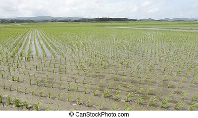 Swaying rice field - Close up rice field which swaying in...