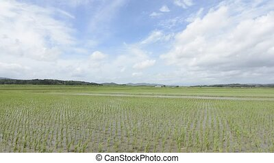 Swaying rice field and sky - Rice field which swaying in the...