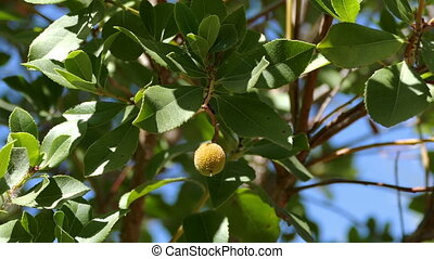 Litchi Fruit on the Branch Tree