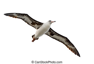 albatross isolated on white - flying albatross isolated on...