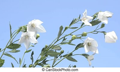 Balloon flowers and sky - Sideways white balloon flowers...