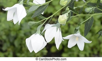 Downward white balloon flowers in green field