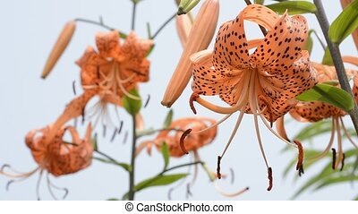 Lily under white sky - Bright orange asian lily flowers...