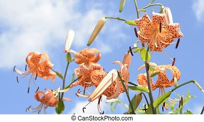Lily under blue sky - Bright orange tiger lily flowers under...