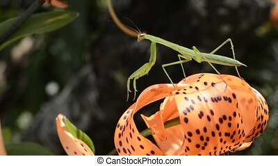 Young mantis and lily - Young green mantis on bright orange...