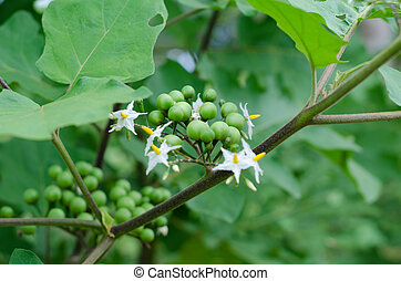 Pea eggplant on tree