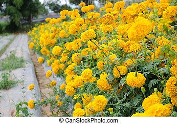 Marigold, ,