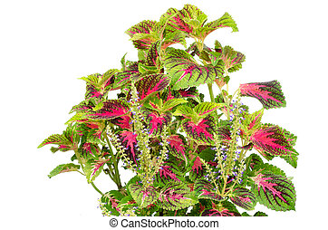 Coleus leaves isolated on white background