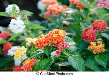 lantana, flores, colorido,  CAMARA