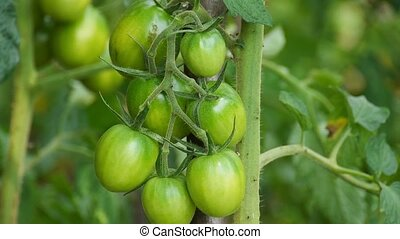 Green tomatoes closeup - Rostuschie green tomatoes in the...