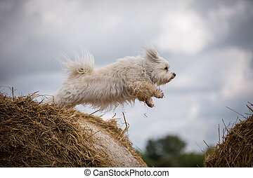 Shortcut through the air - Small white Havanese jumps from a...