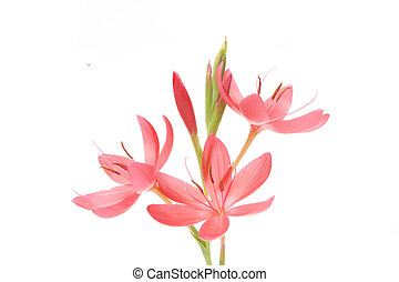 Group of pink flowers - Schizosttylis Coccinea Sunrise...