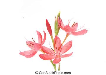 "Group of pink flowers - Schizosttylis Coccinea \"" Sunrise\""..."