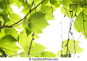 Japanese ivy leaves - Bright green Japanese ivy leaves in...