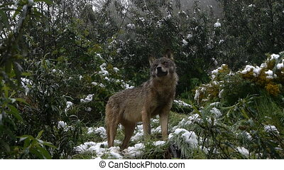 couple Iberian wolves among the snowy Mediterranean scrub