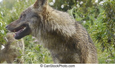 Iberian wolf foreground - closeup of iberico wolf season in...
