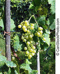 White grapes in a vineyard - White Grapes on the Vine in...