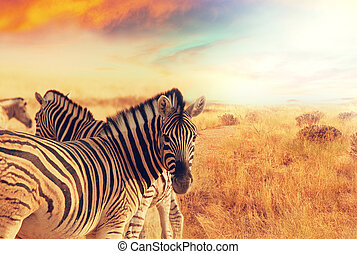 Zebra - zebras at sunset